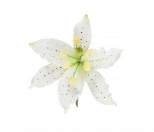 Large Lily: White